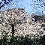 【閑話休題】桜と雪と【混沌】